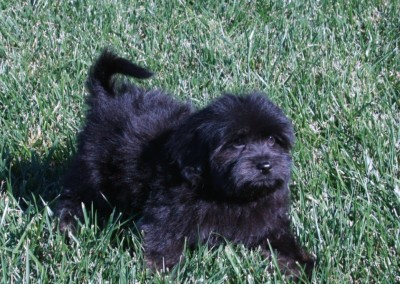 Black Havanese Puppy