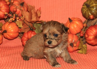 Brindle Havanese Puppy