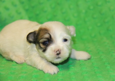 Havanese Puppy Sable Party