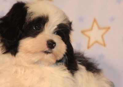 Black Party Havanese Puppy