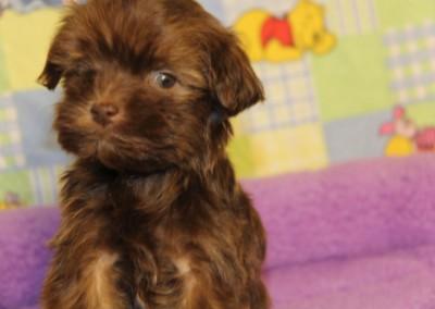Chocolate Havanese Puppy
