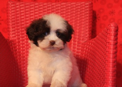 Havanese Puppy Chocolate Party