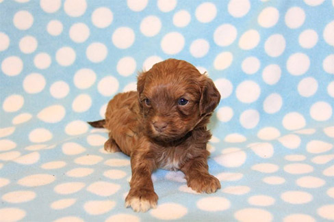 Havanese puppies California