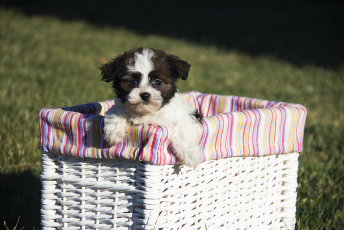 Havanese Puppy Health Guarantee